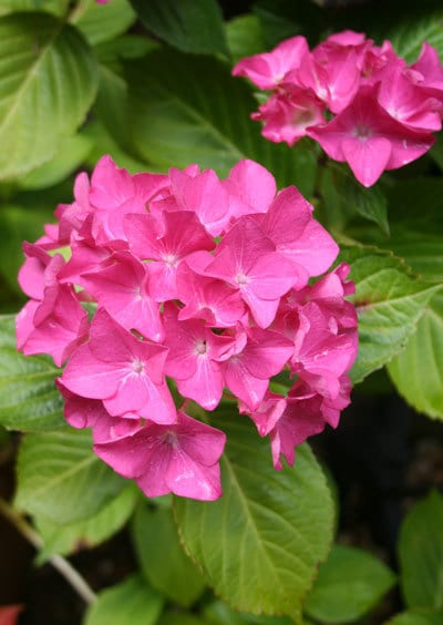 Pinkhydrangea