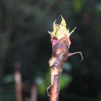 Treepaeonybud