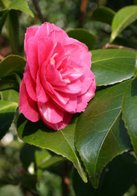 Bloom of the Week – Camellia Bonomiana