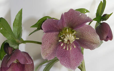 Bloom of the Week – Lenten Rose