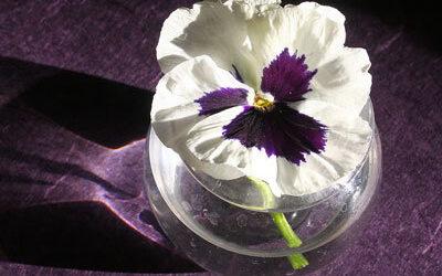 Bloom of the Week – winter flowering pansy