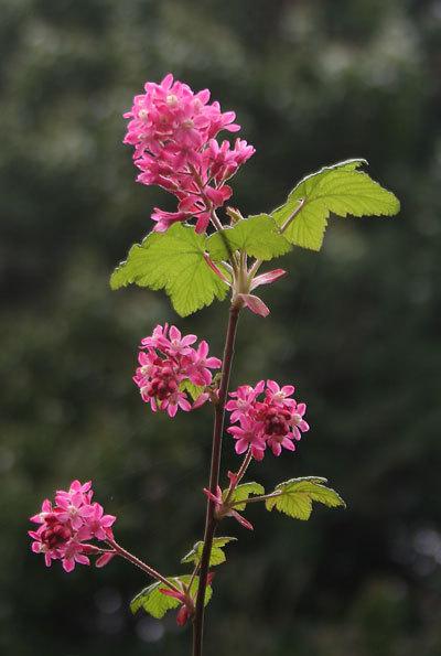 Flowerintcurrang
