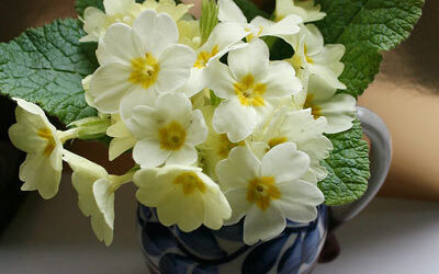Bloom of the Week – Primrose