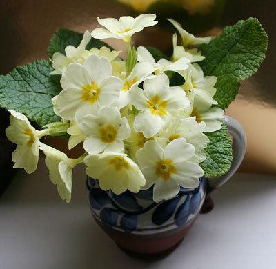 Bloom of the Week – Primrose