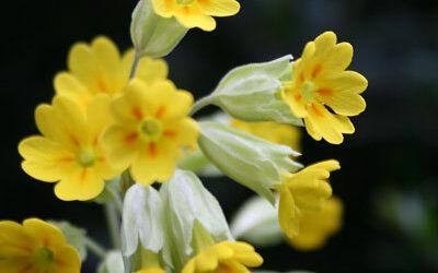 Bloom of the Week – Cowslip