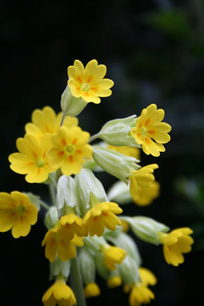 Bloom of the Week – Cowslip