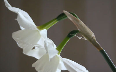 Bloom of the Week – Narcissus
