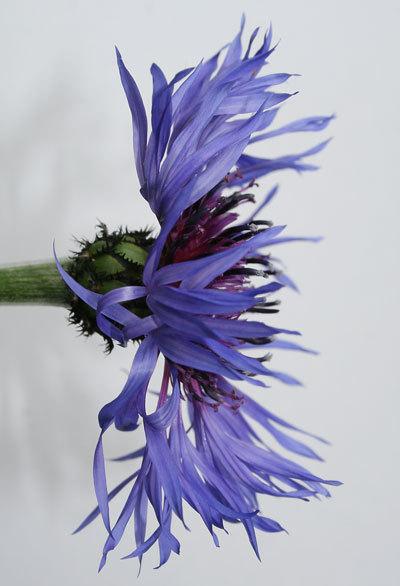 Centaureabloom