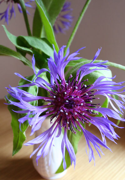 Bloom of the Week – Centaurea montana