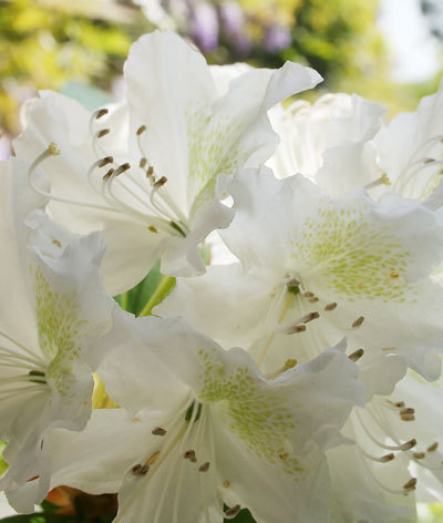 Rhodendronbloom_2
