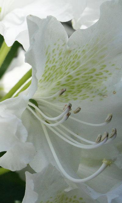 Rhododendronstamens2