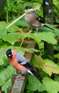 Dandelion-and-bullfinch