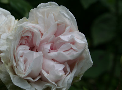 Bourbon-rose
