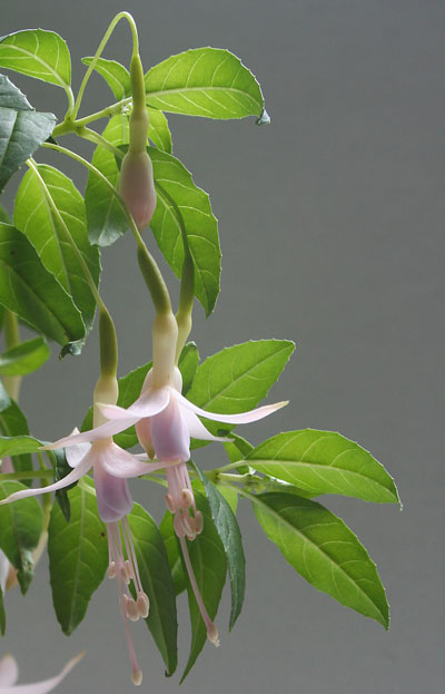 Bloom of the Week – Fuchsia Mrs W P Wood
