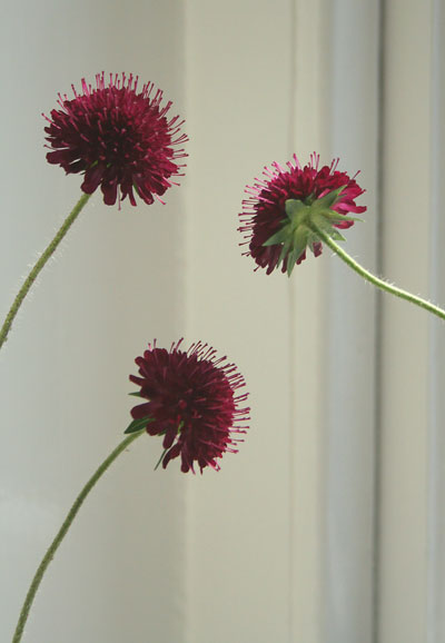Bloom of the Week – Knautia macedonica