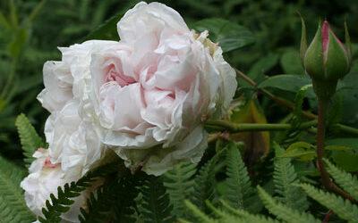 Bloom of the Week – Souvenir de la Malmaison