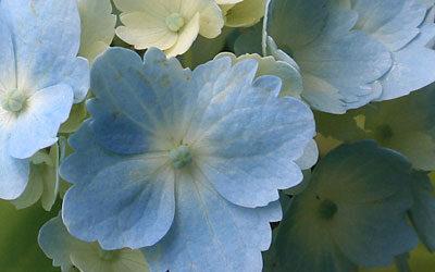 Bloom of the Week – Hydrangea macrophylla hortensia (a blue one!)