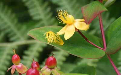 Bloom of the Week – Hypericum androsaemum