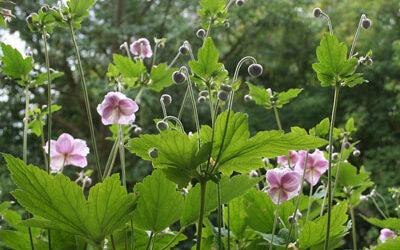 Bloom of the Week – Japanese Anemones