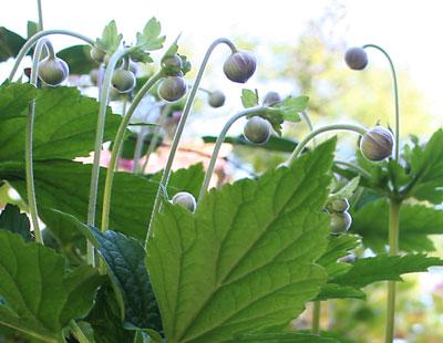 Japanese-anemone-buds