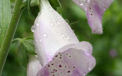 Bloom of the Week – Water Lilies
