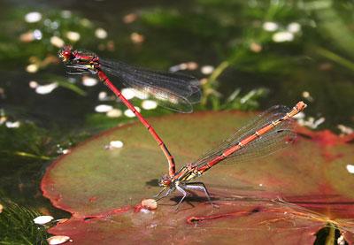Large-red-damsel-flies