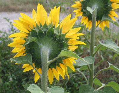 Sunflower-backview