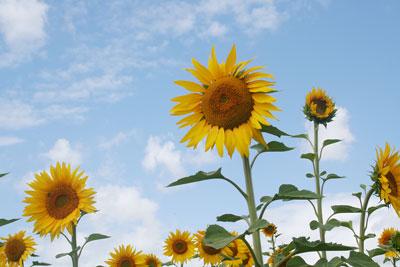 Bloom of the Week – sunflowers