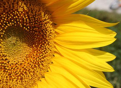 Sunflower-head