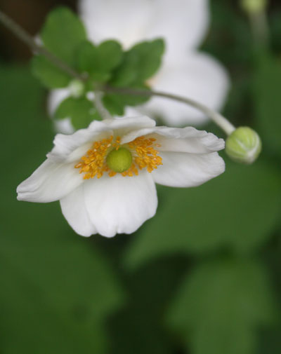White-japansese-anemone-fro