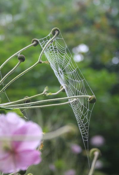 Anemone-web