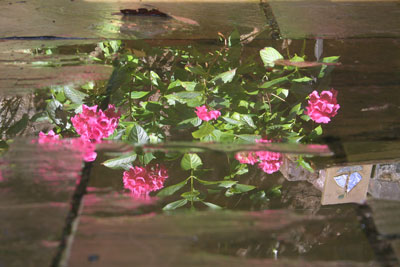 Hydrangea-puddle