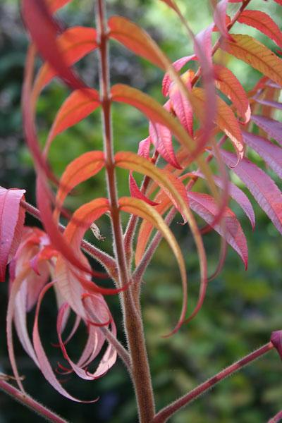 Sumach-leaves