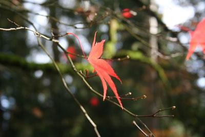 Single-acer-leaf