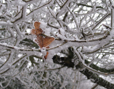 Frosted-oak-leaf