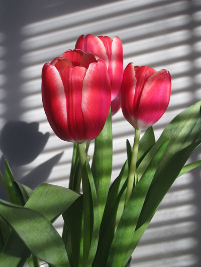 Bloom of the Week – Red Tulips