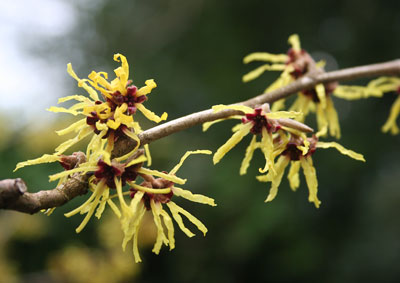 Bloom of the Week – Witch Hazel