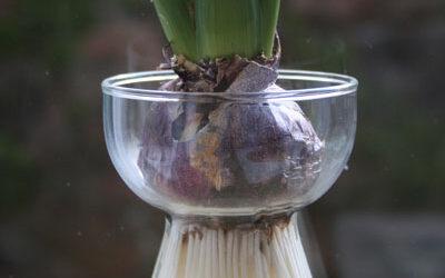 Bloom of the Week – Hyacinth