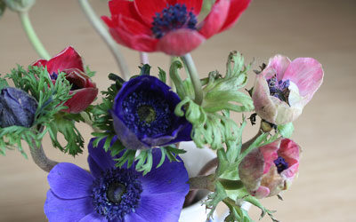 Bloom of the Week – Anemone coronaria 'De Caen'