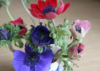 Bloom of the Week – Anemone coronaria 'De Caen'