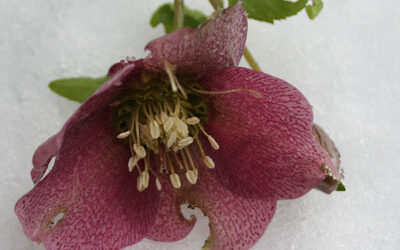 Hardy Hellebores – Bloom of the Week