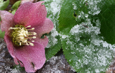 Hellebore-and-ice