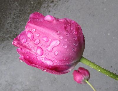 Rain-drops-on-tulips