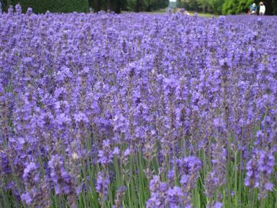 Kew-lavender