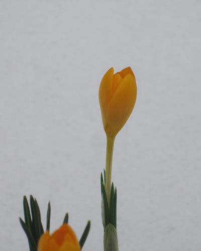 Crocus – Bloom of the Week