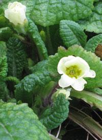 Early-primrose