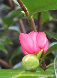 Early-camellia-bloom