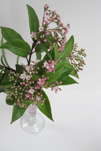Viburnum-tinus-blooms