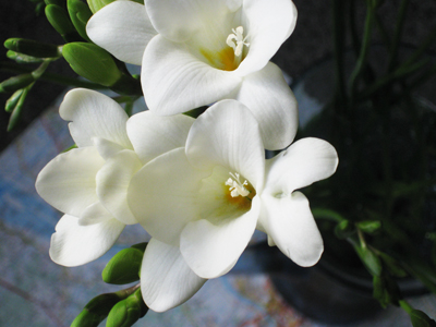 White-freesia