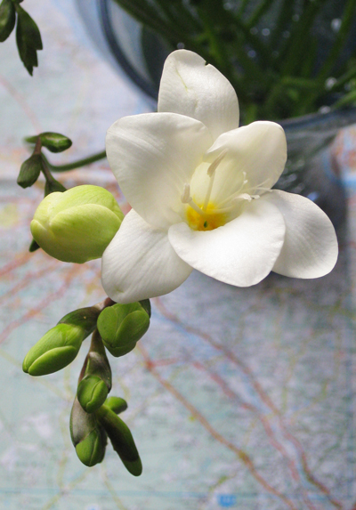 White-freesia-single-bloom